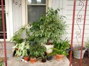 plantes vertes les sortir dans le jardin pour l 233 t 233 nos conseils