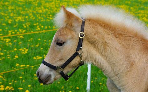 haflinger horse breeding   dolomites avelignese