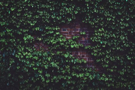 stock photo  hd wallpaper ivy leaves