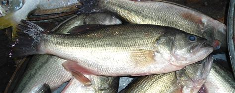 filechinese fish jpg wikimedia commons