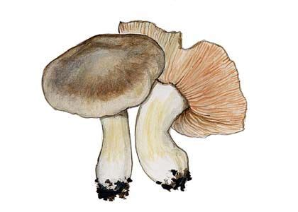 milzu sārtlapīte - Entoloma sinuatum (Bull.: Fr.) P.Kumm. - Sēnes - Latvijas daba