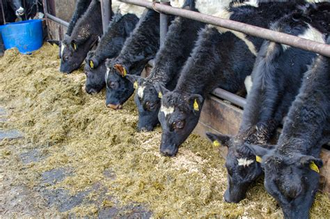 dairy beef     afford  pay  calves