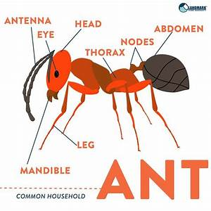 What An Ant Looks Like  An Ant Diagram