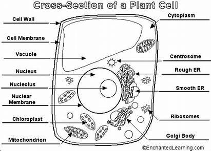 Cell Label Answers Animal Science Plant Cells