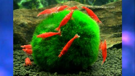 petsolutions fire red shrimp freshwater youtube
