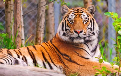 tiger hd wallpapers beautiful desktop wallpapers