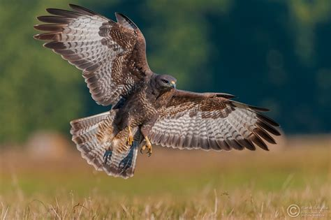 images for gt buteo buteo