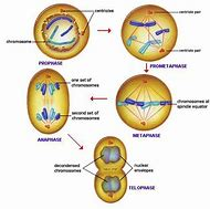 what are the phases of meiosis