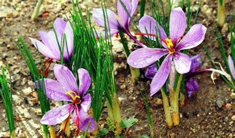 can i grow saffron bulbs and harvest my own saffron yes
