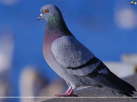 pigeon pics wallpapers  wallpapers adorable wallpapers