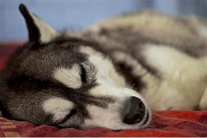 Huskies Gifs Animals Artists Dogs Giphy