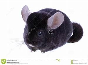Black Ebonite Chinchilla Stock Images - Image: 23043714