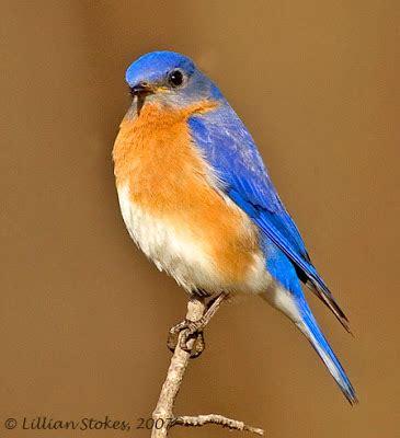 stokes birding blog eastern bluebird breeding all is well