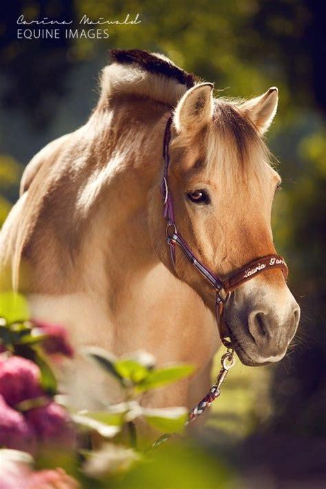 fjord norwegian photographers equine horse horses pretty carina maiwald most animals wild creative cute pony earth found breeds true come