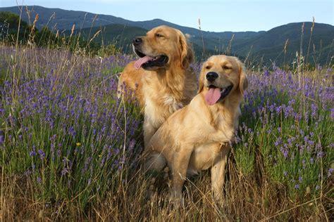 Breed Comparison Labrador Retriever Vs Golden Retriever