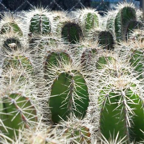 pachycereus marginatus cactus jungle