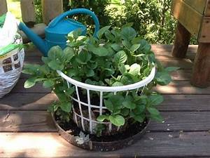 Grow Potatoes In A Laundry Basket  You Can Line It With Newspaper  Straw Etc  Add A Few Inches