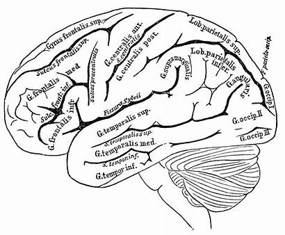 Human Parts Drawing Brain Anatomy Labeled Getdrawings