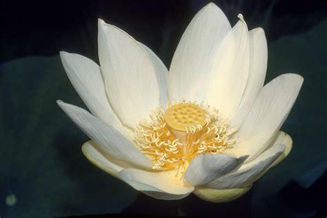 lotus wiktionary