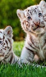 Rare white baby tiger | Baby white tiger, Cute baby ...