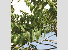 Ailanthus excelsa 2 « Open Data sharing by Keystone Foundation