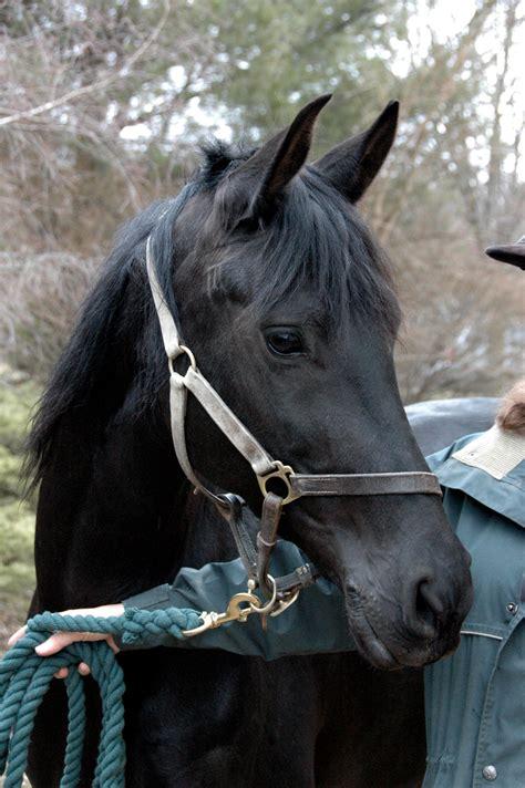 horse halter lead commons file wikimedia tack clipped wikipedia frison choosing arabo
