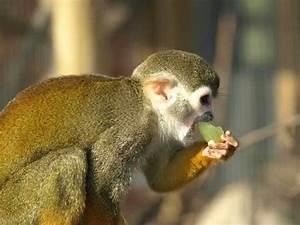 Spider monkey eating a grape | Animals | Pinterest