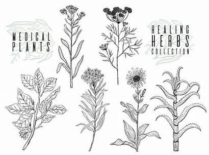 Flowers Herbal Plant Plants Wild Drawing Herbs