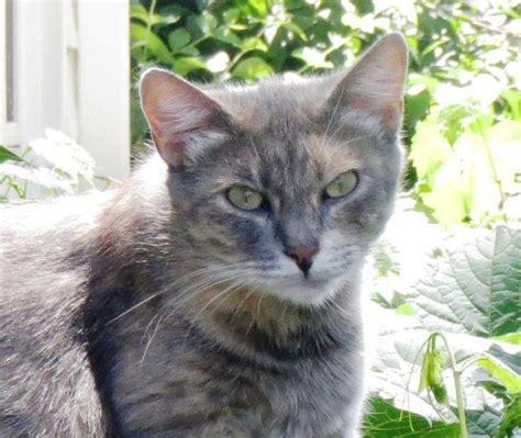 Best 25 Grey Tortoiseshell Cat Ideas On Pinterest