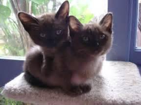 burmese cat burmese cats burmese cats