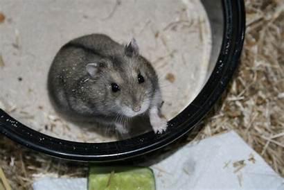 Ungeeignete Einrichtung Rennmaus Hamster
