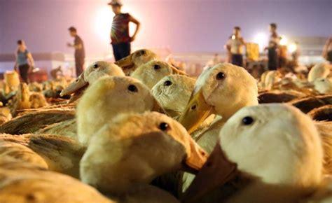 army   chinese ducks ready  fight locust plague
