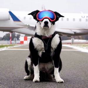 piper the aviation bird dog protects planes from bird strikes