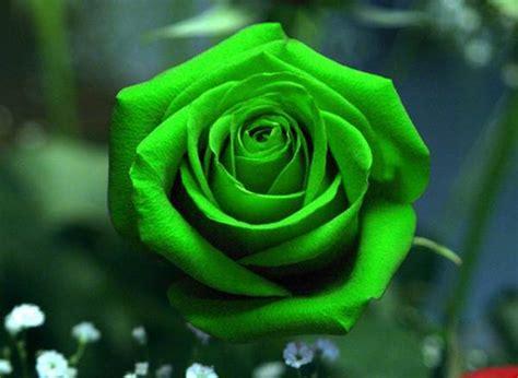 arti bunga mawar berdasarkan warna  jumlah tangkainya dieditcom