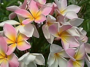 plumeria flowers pictures of plumeria flowers