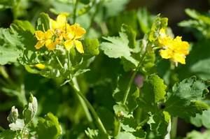 Was Hilft Gegen Wühlmäuse : hausmittel gegen warzen hausmittel heilpflanzen ~ Lizthompson.info Haus und Dekorationen