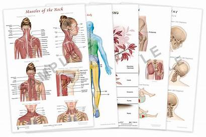 Posters Anatomy