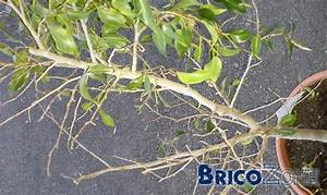 Comment Tailler Un Ficus : revigorer des ficus moribonds ~ Melissatoandfro.com Idées de Décoration