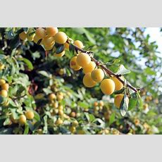 The Old Mirabelle Plum Tree Spiced Mirabelle Plum Galette