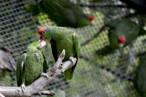 Parrot Species In Us Cities May Rival That In Native