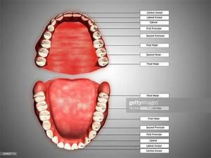 Human Teeth Structure With Labels High