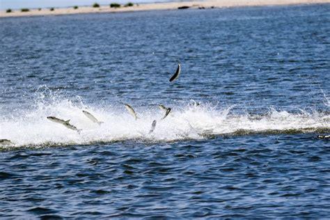 mullet jumping sound rosa santa fishing fish dock around