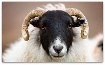 Sheep Blackface Face Leenane