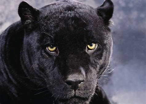 black panthers animal pictures  animal picture society