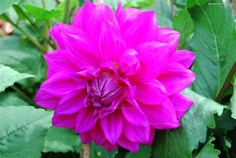 fuchsia  magenta color flowers