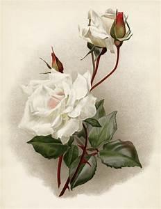 White Rose Botanical Illustration
