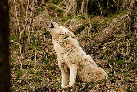 gray  white wolf  stock photo