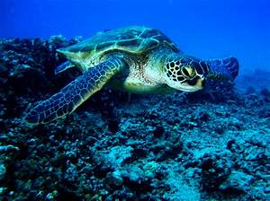 Green Sea Turtle Facts and Pictures | Reptile Fact