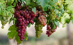 Grapes Wallpaper - WallpaperSafari