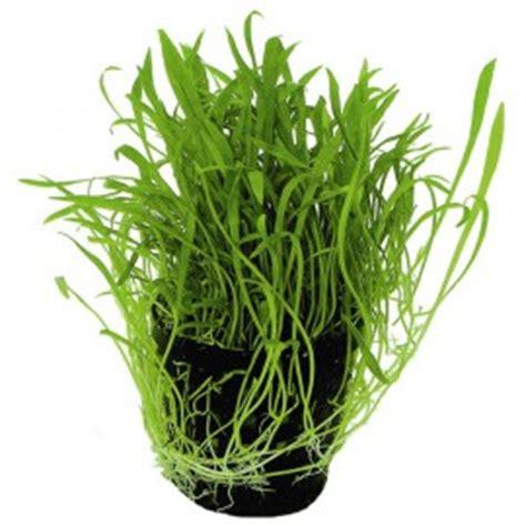 plante aquarium pas cher plantes d aquarium gazonnantes facile et pas cher herbe gazon pelouse pour aquariums